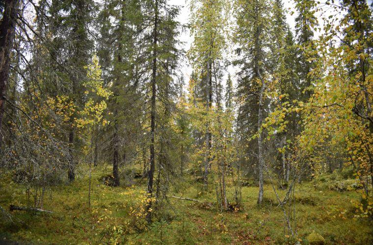 metsäkävely, metsä, metsäkylpy, Imatra, Lappeenranta, Saimaa