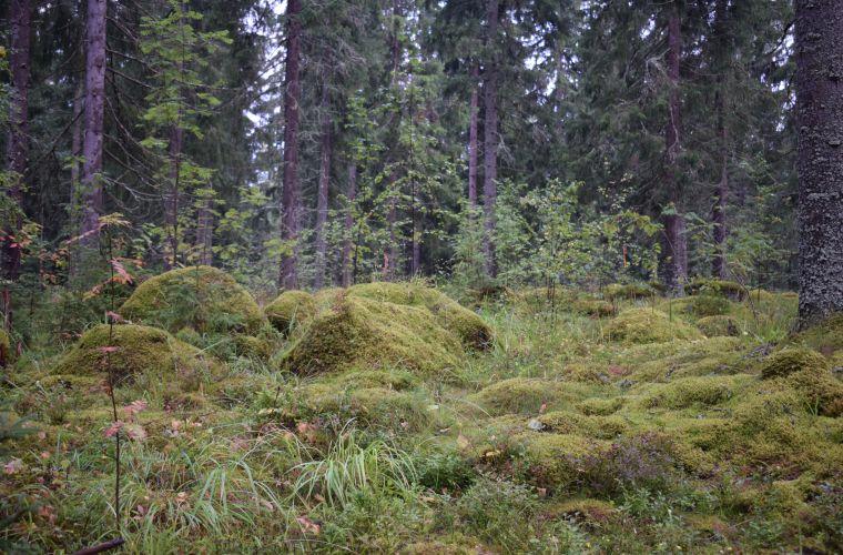 metsä, metsäkylpy, Imatra, Lappeenranta, Saimaa