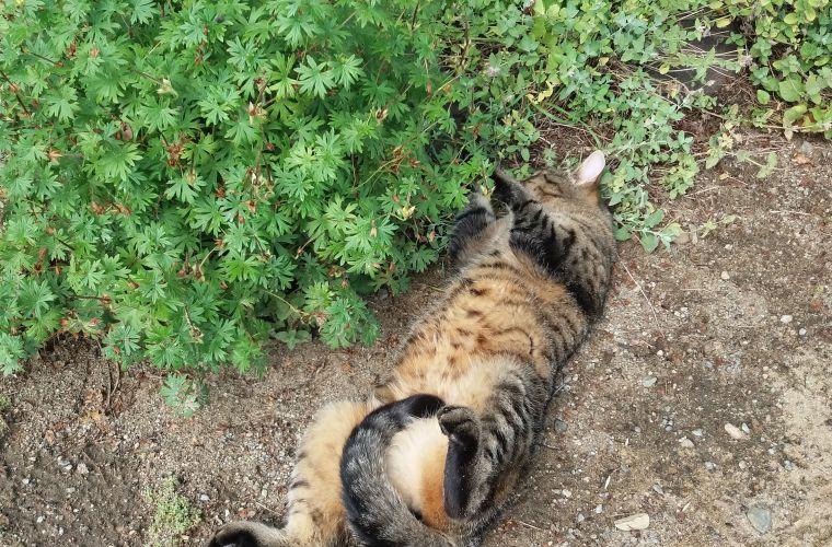kissa, puutarhakissa, kissa puutarhassa