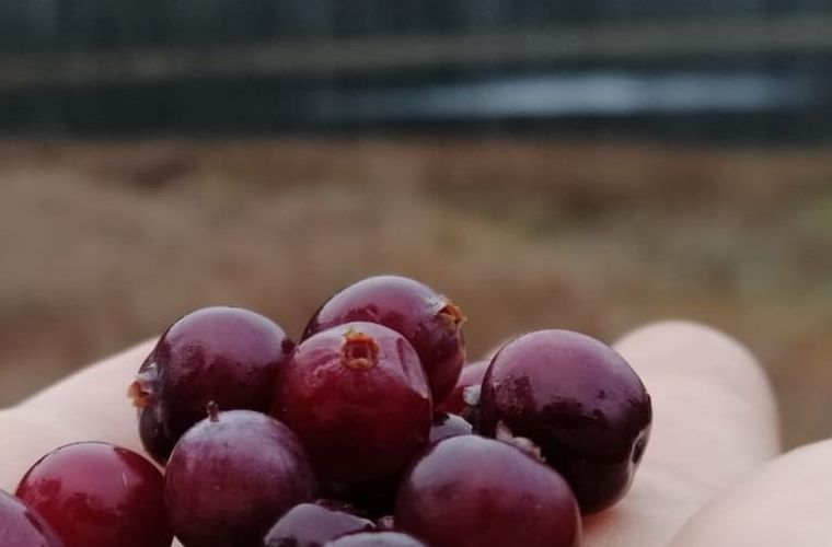 Swamp, cranberries